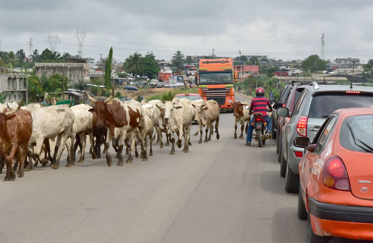 Motorists wait as cows cross a road in Abobo, a suburb of Abidjan, Ivory Coast, on January 3rd, 2018.