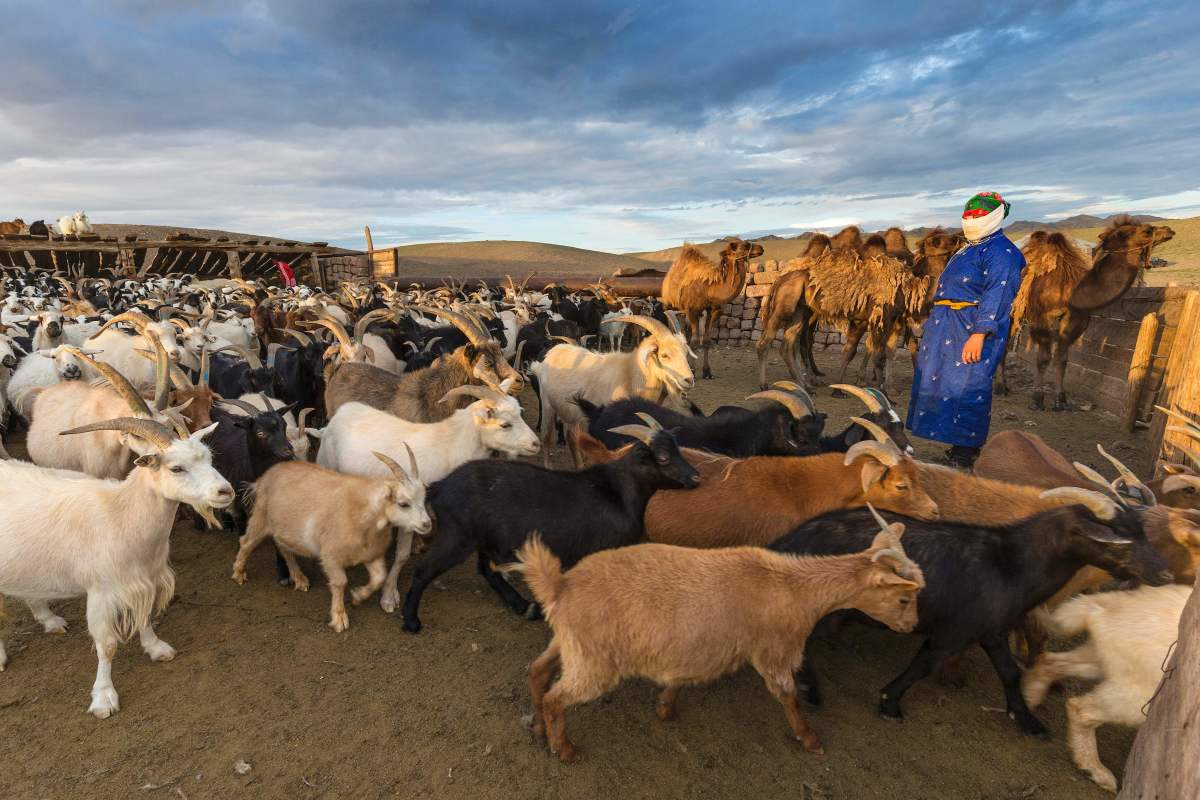 A woman stands next to her herd of goats on July 25th, 2016, in the Omnogovi (South Gobi) province in Mongolia.