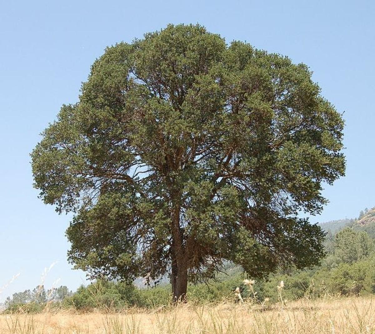 A Blue Oak in California.