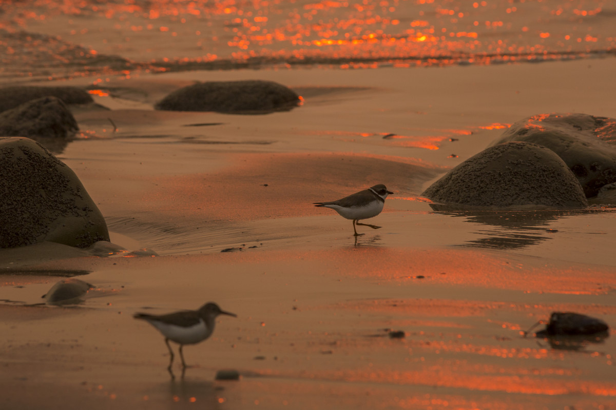 A smoke-filled sky filters sunlight to orange around shorebirds as the Thomas Fire threatened communities from Carpinteria to Santa Barbara on December 12th, 2017, in Carpinteria, California.