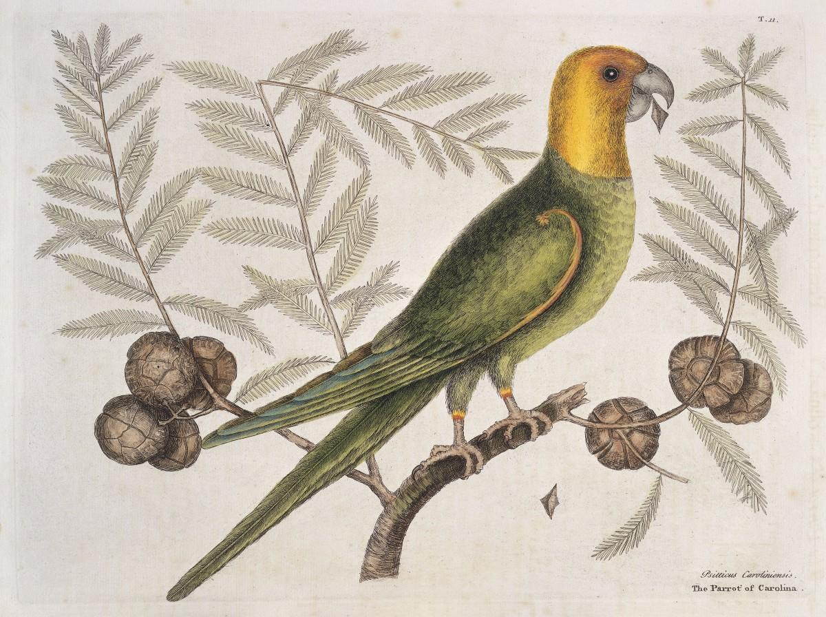 Engraving of a Carolina parakeet on Cypress tree, 1731.