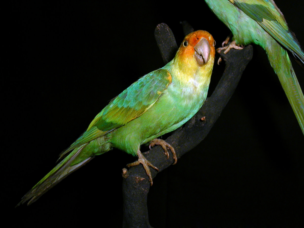 Mounted specimen of the Carolina parakeet in the Museum Wiesbaden, Wiesbaden, Germany.