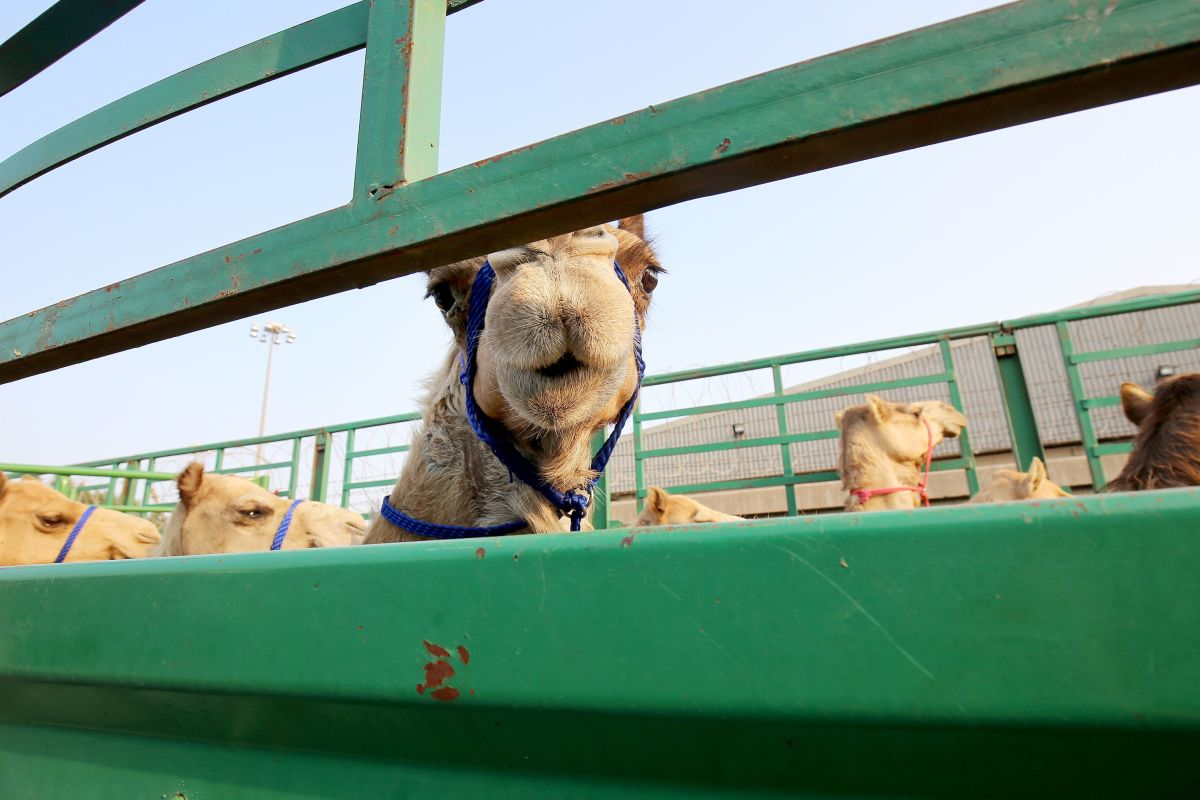 Camels belonging to Qatari owners are seen inside a truck next to the Shuwaikh Port in Kuwait City, Kuwait, on February 28th, 2018. More than 10,000 camels have been stuck in Saudi Arabia since the beginning of the Gulf Cooperation Council crisis.