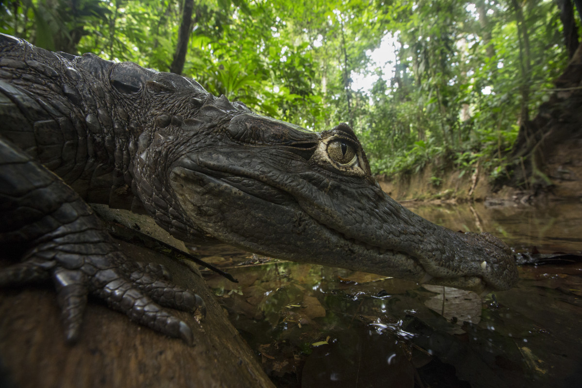 A spectacled caiman rests at the edge of a small stream in southern Costa Rica.