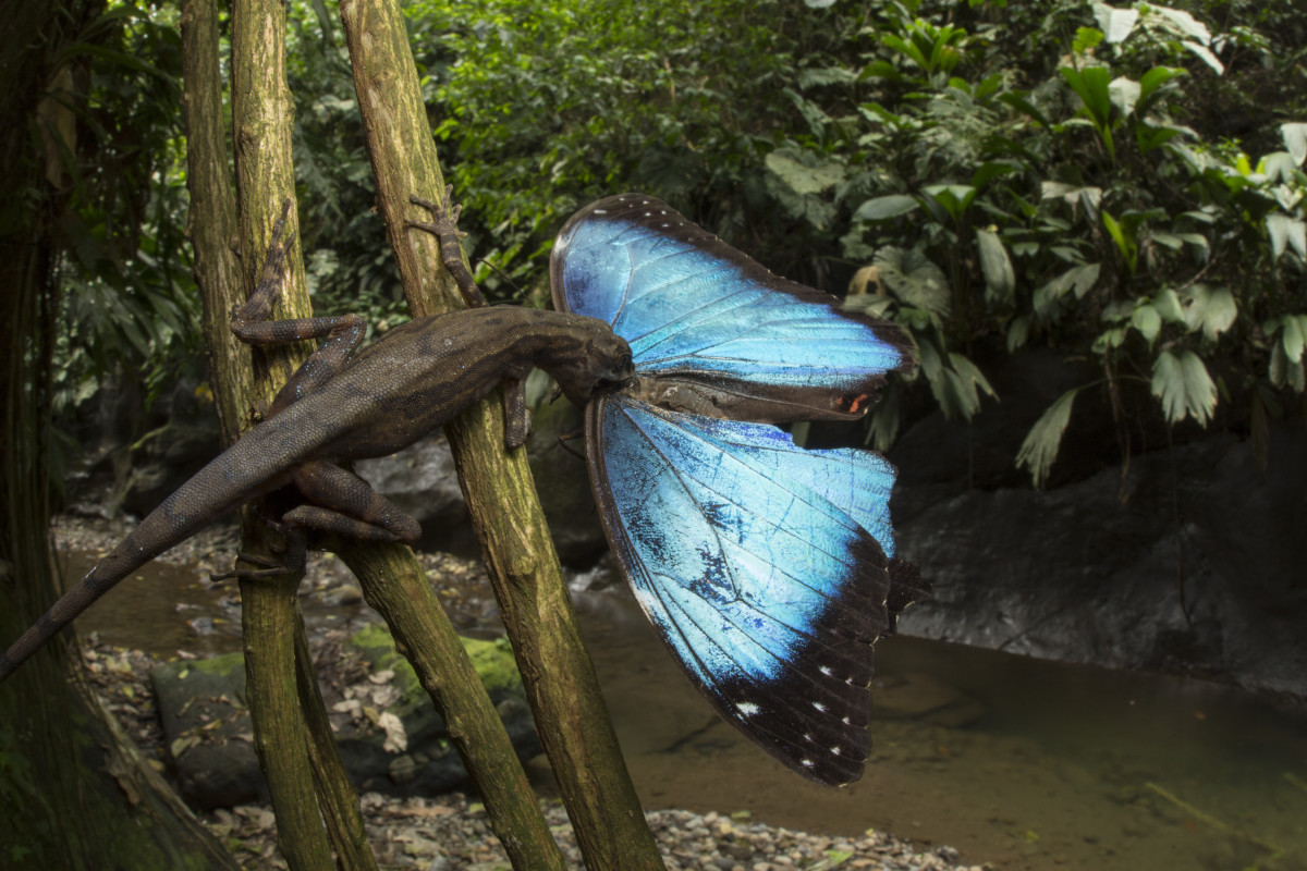A stream anole lizard attempts to eat a very large blue morpho butterfly it has captured.