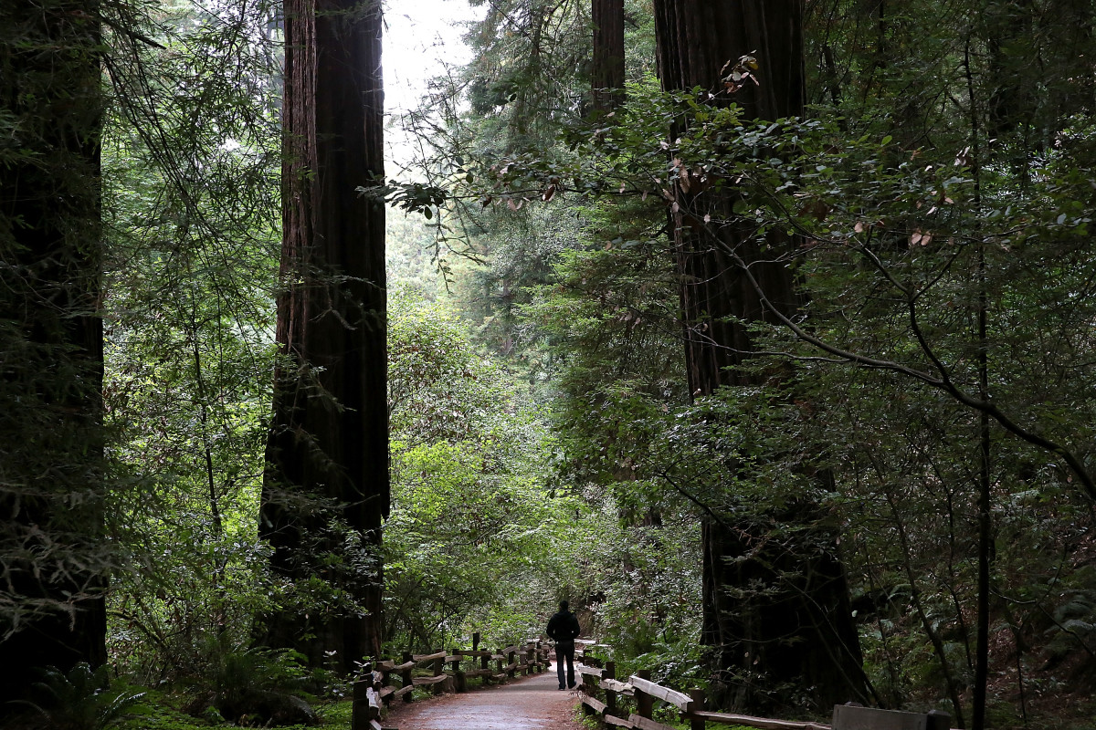 A visitor walks along a path of Coastal Redwood trees at Muir Woods National Monument.