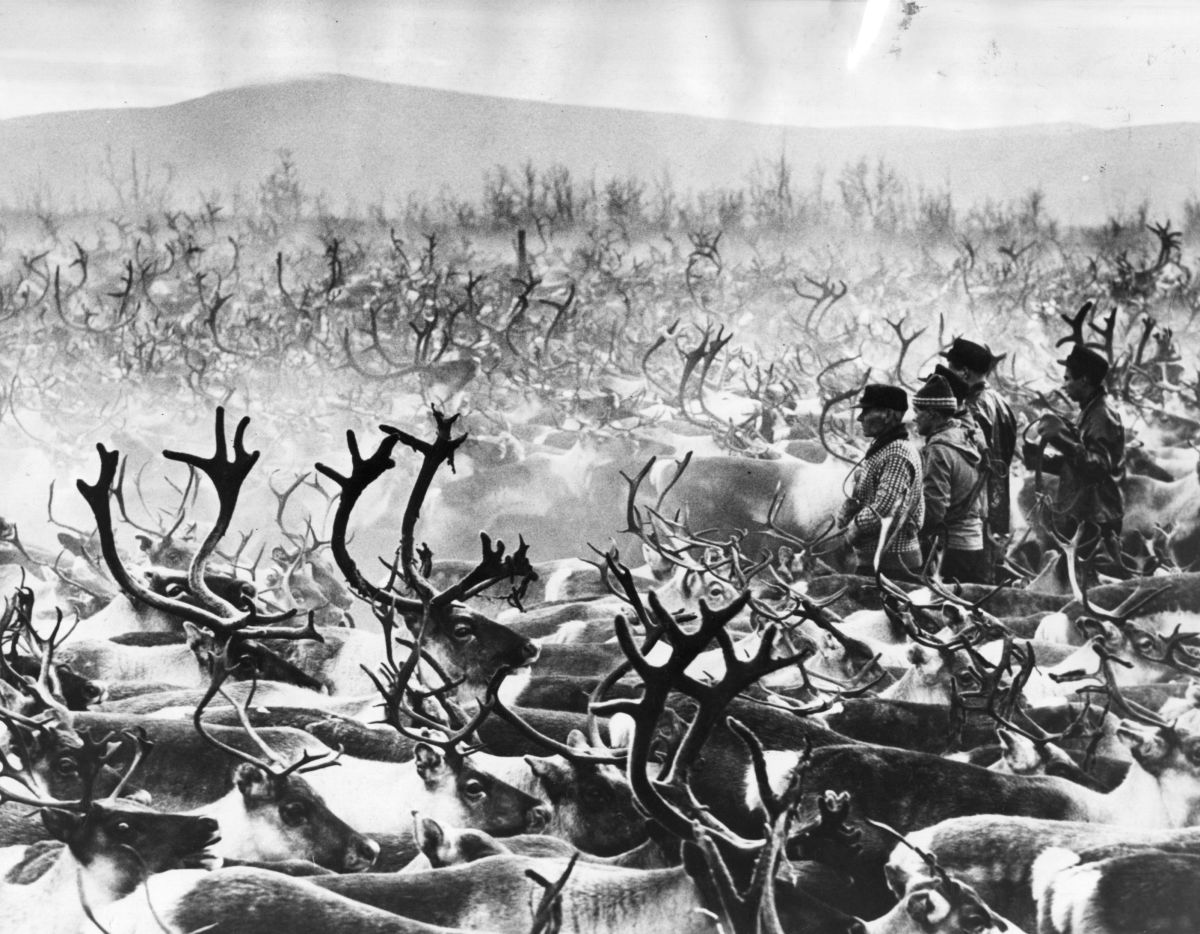 A vast herd of reindeer is rounded up on a ranch in Lapland on January 15th, 1969.