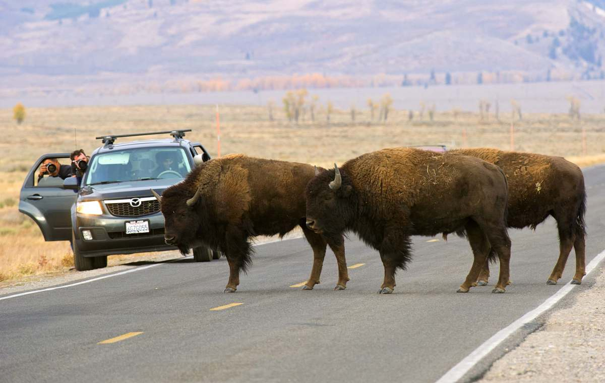 Bison in Grand Teton National Park.