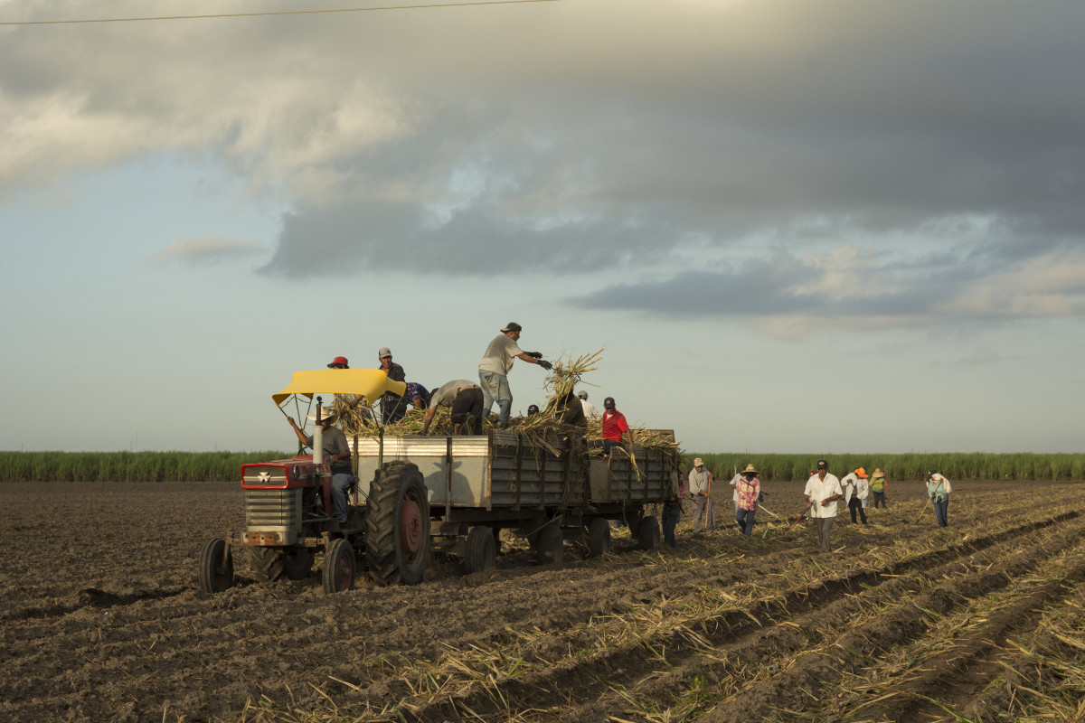 Day laborers toss sugarcane from a wagon in a field in South Texas.