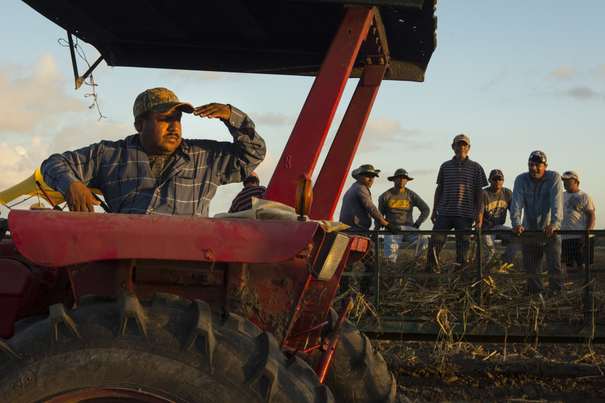 Day laborers prepare for a day of planting sugarcane in the fields of South Texas. Men riding in wagons toss cut sugarcane to the ground for others who follow behind and arrange the cane in rows for planting.