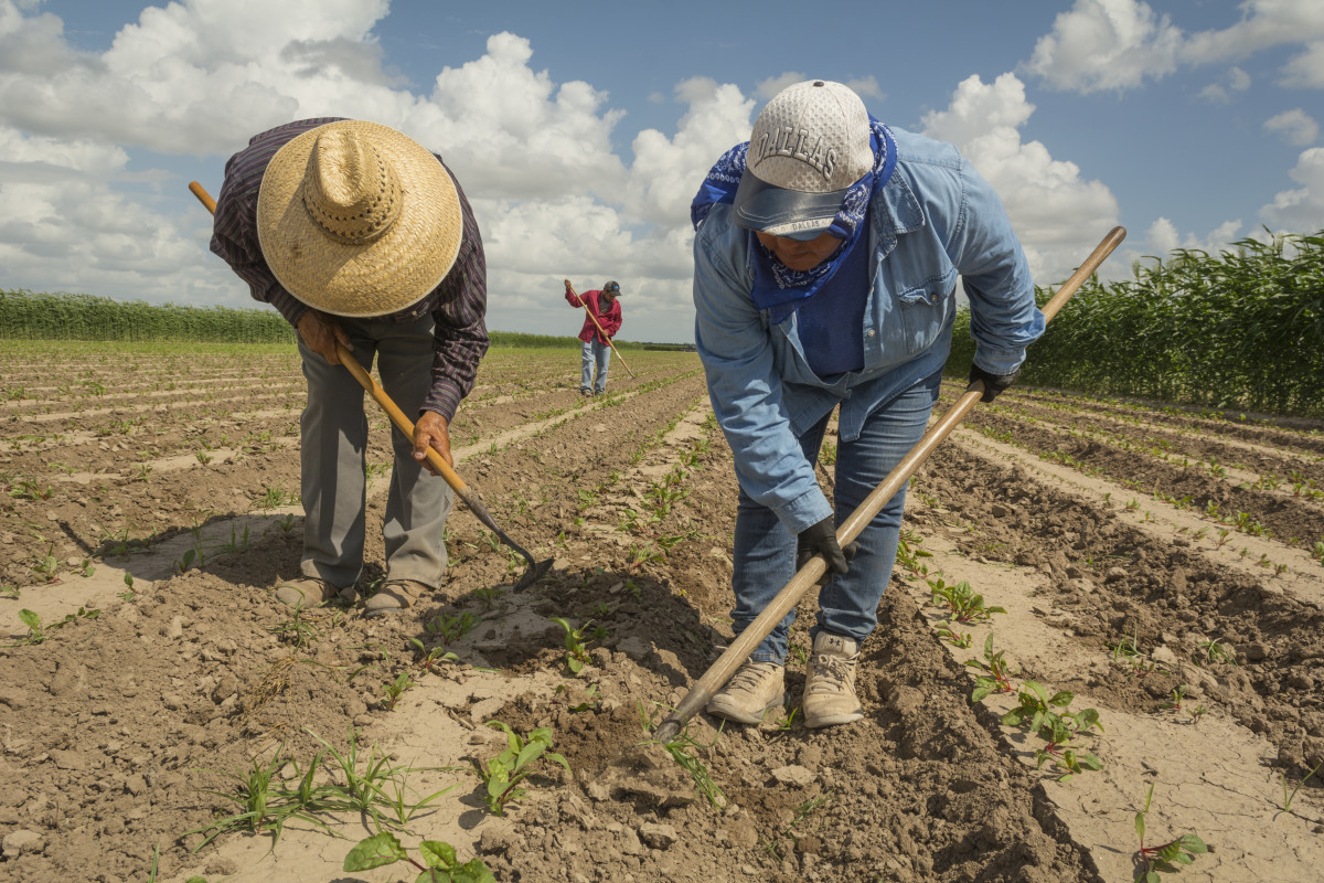 María Martínez, right, a field supervisor for Rio Fresh, weeds a field south of Edinburg, Texas. She has worked in the fields of South Texas since she was a kid, picking and hoeing alongside her parents.