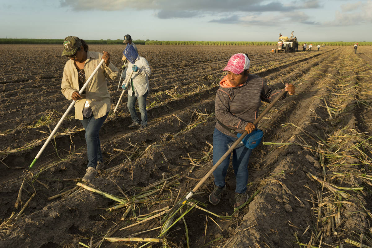 Day laborers rake sugar cane into rows in a field in South Texas.