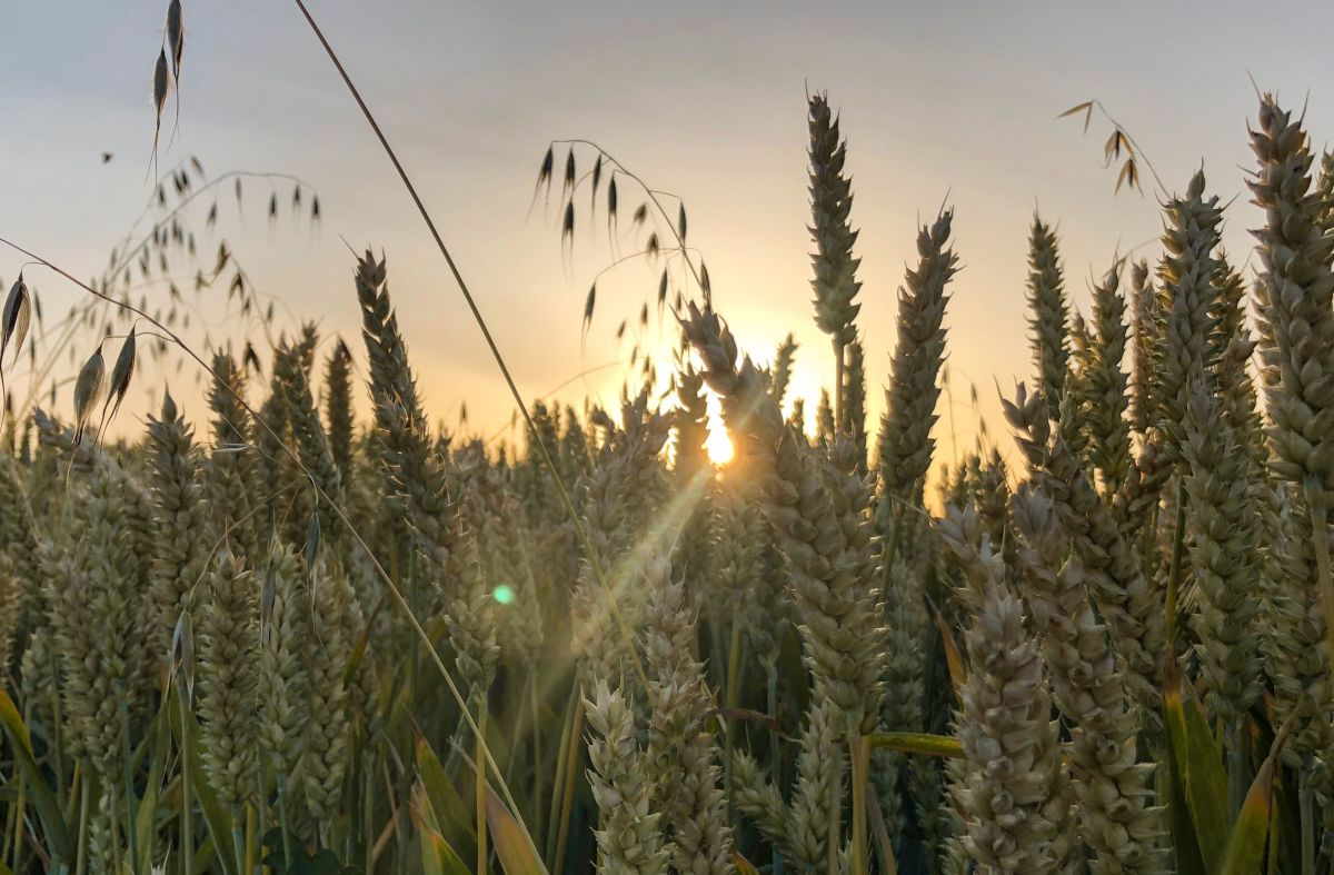 A field of wheat at sunset.