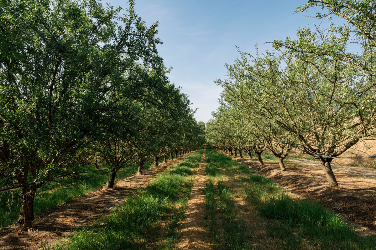 The Burroughs Family Farm grows organic almonds, using nitrogen-fixing cover crops.