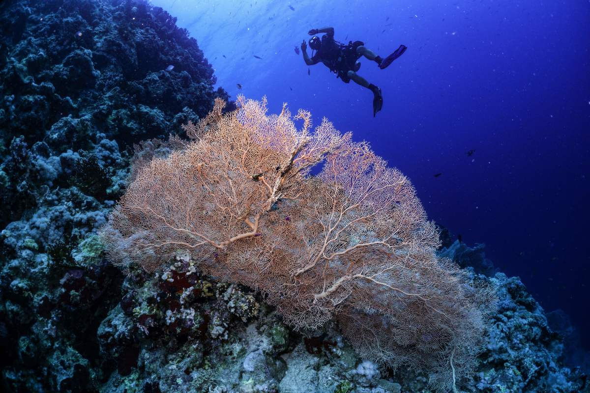 A Gorgonian sea fan on a coral reef.