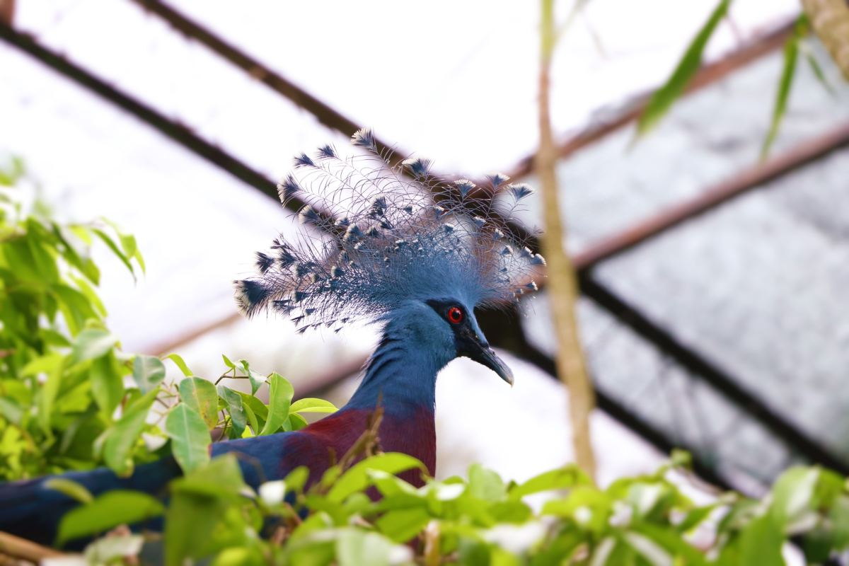 A victorian crowned pigeon, a species native to Papua New Guinea.
