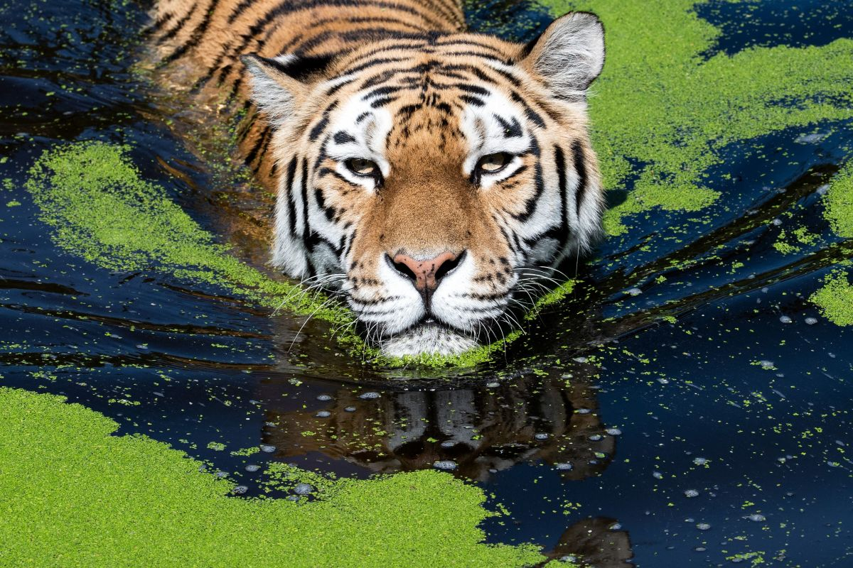 Dasha the tiger cools off in her pool at the zoo in Duisburg, Germany, during the recent European heatwave.