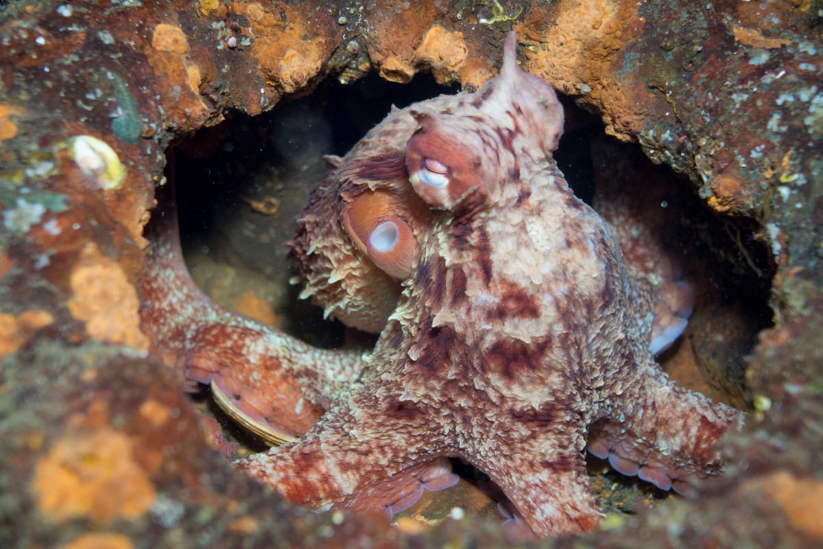 Giant Pacific octopus.