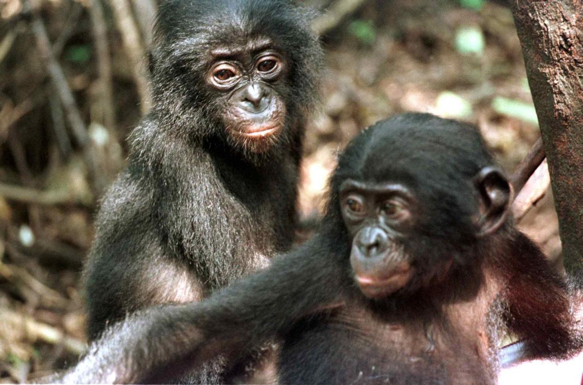 Two baby bonobos.