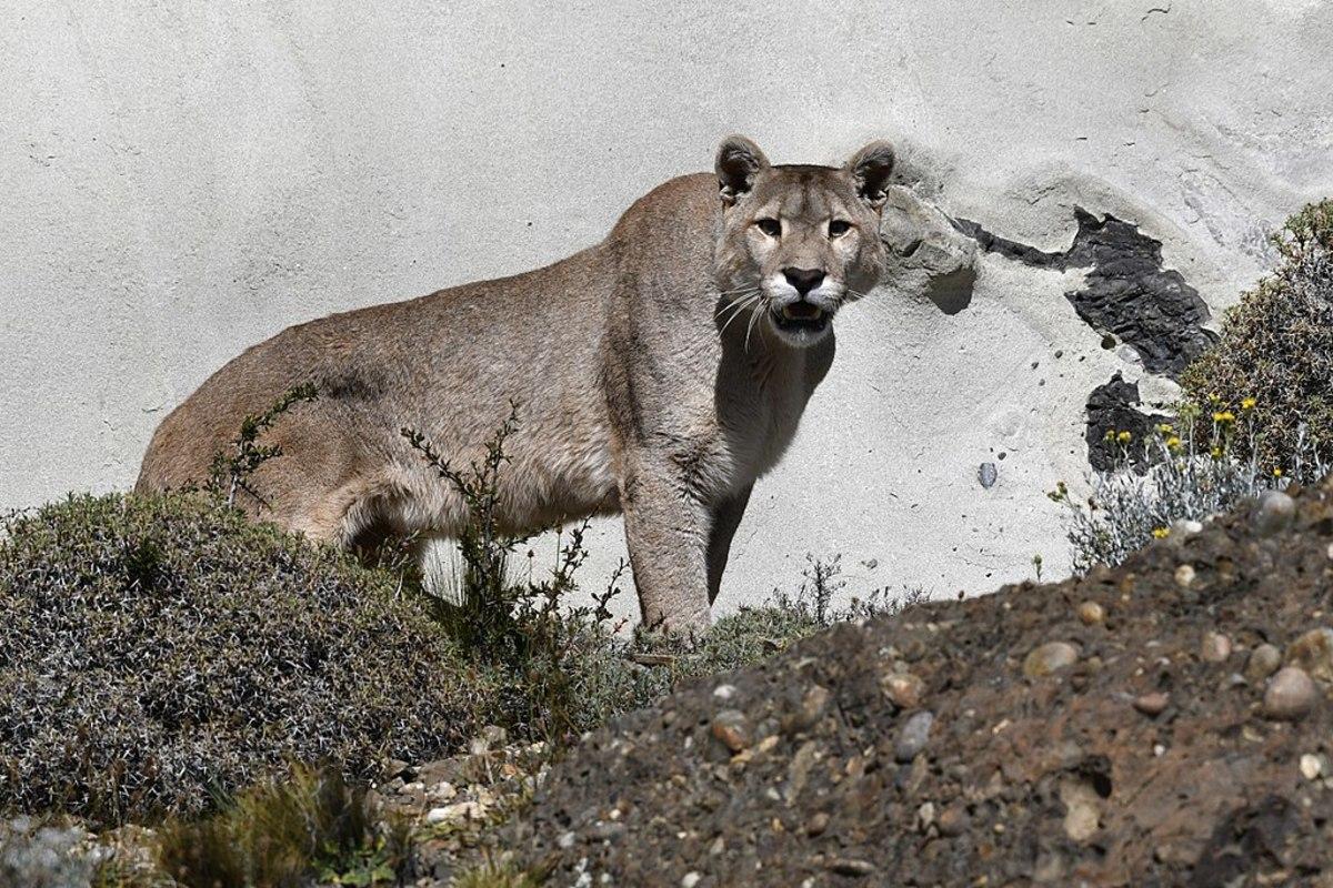 A Chilean puma.