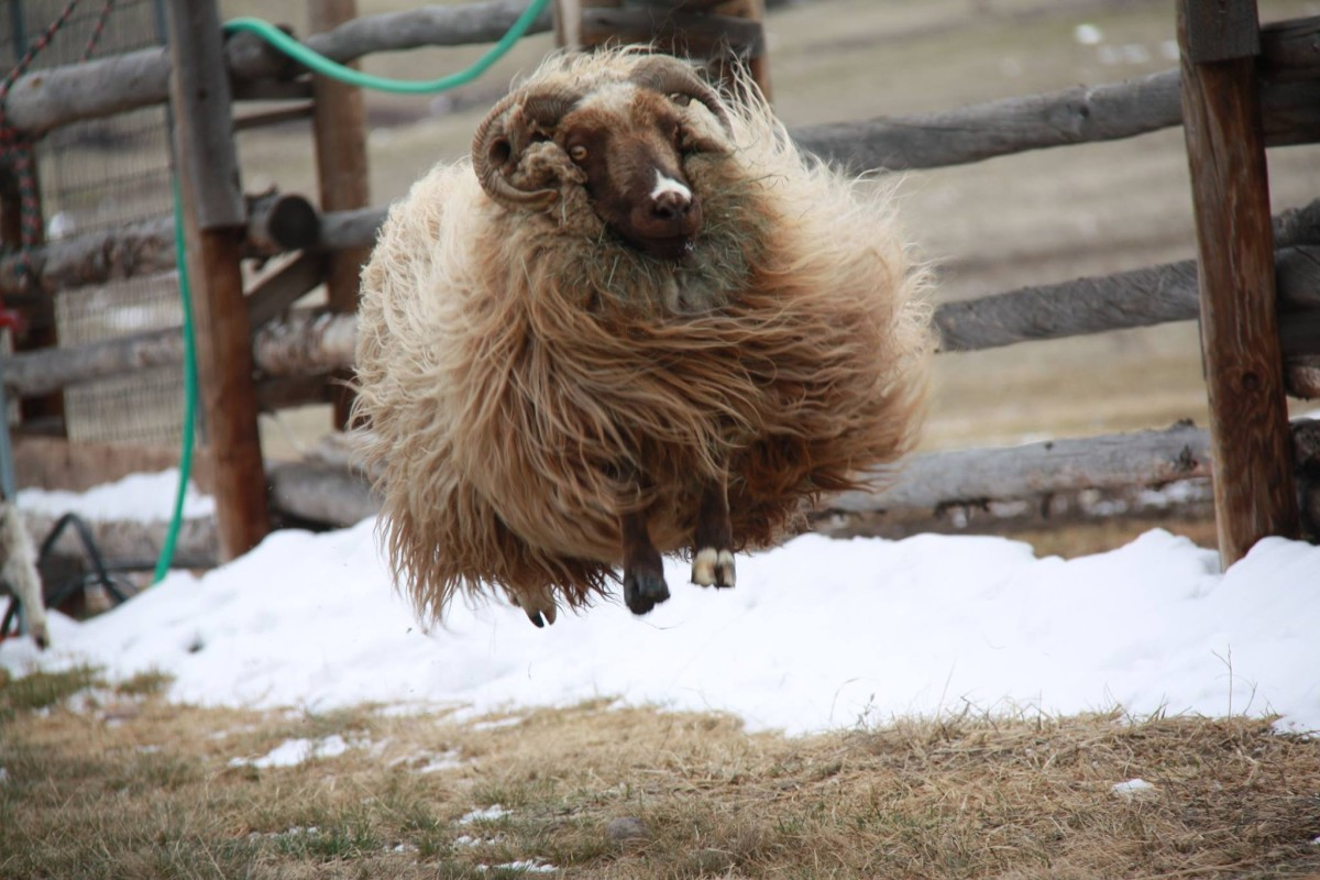 An Icelandic sheep, mid-air, at Houston's ranch.