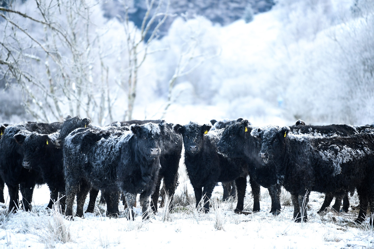 Frost forms on the back of Galloway cows on February 1st, 2019, in Crainlarich in Scotland. Temperatures plummeted to -15 degrees Celsius on the coldest night of the year.