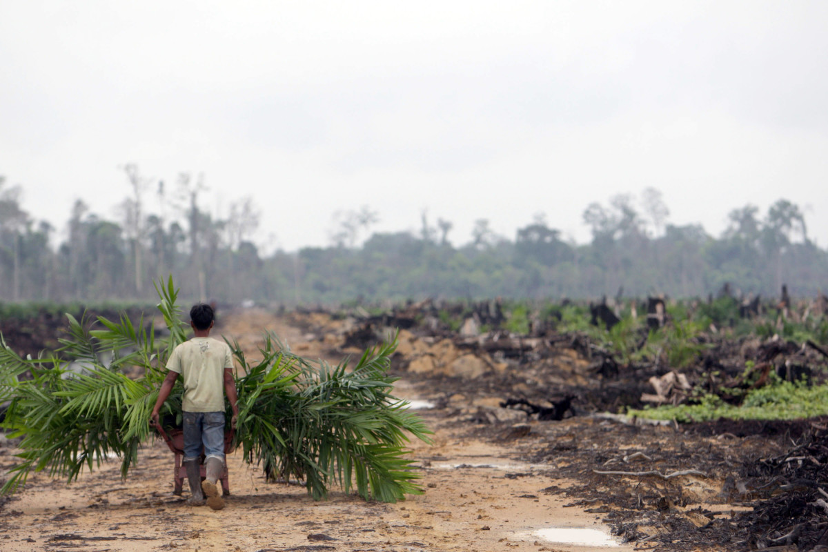 A worker harvests leaves from newly planted palm oil trees growing on the site of destroyed tropical rainforest in Kuala Cenaku, Indonesia.