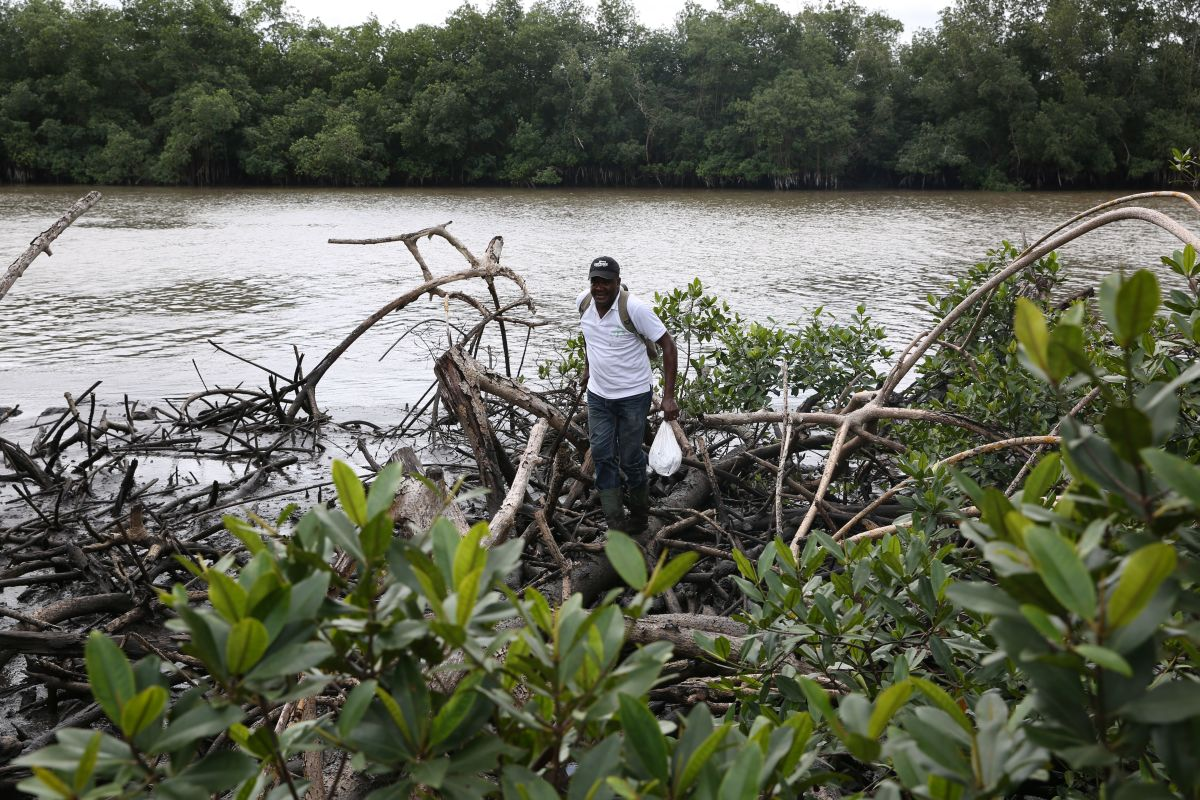 Magloire-Desire Mounganga, an expert from Gabon's National Agency for National Parks, walks over mangroves in the Angondje Nton district of Libreville on May 17th, 2018.