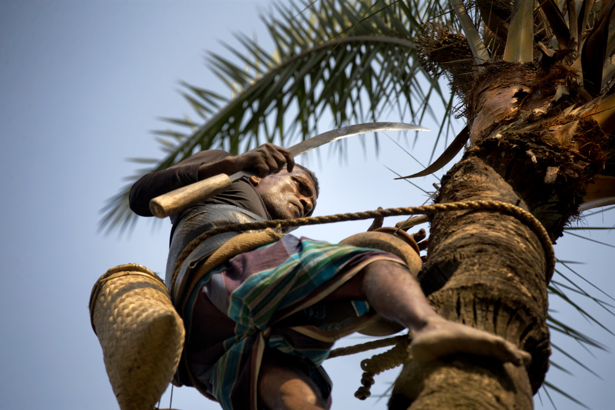 Each day during the winter, Bangladesh's gachhis climb date palm trees, carve away a layer of bark, and collect the thin, sweet sap that oozes from the tree.