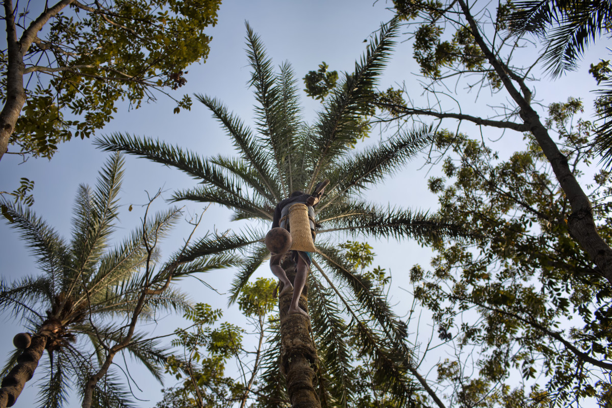 A gachhi scales a date palm tree to collect the tree's sap, a local delicacy.