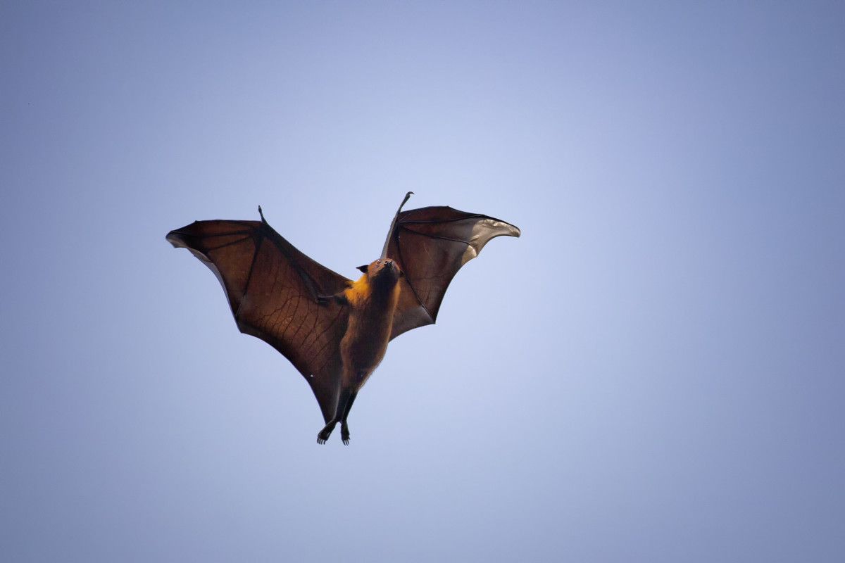An Indian flying fox passes over a village near northern Bangladesh's Rangpur City looking for an unoccupied spot to roost for the day.