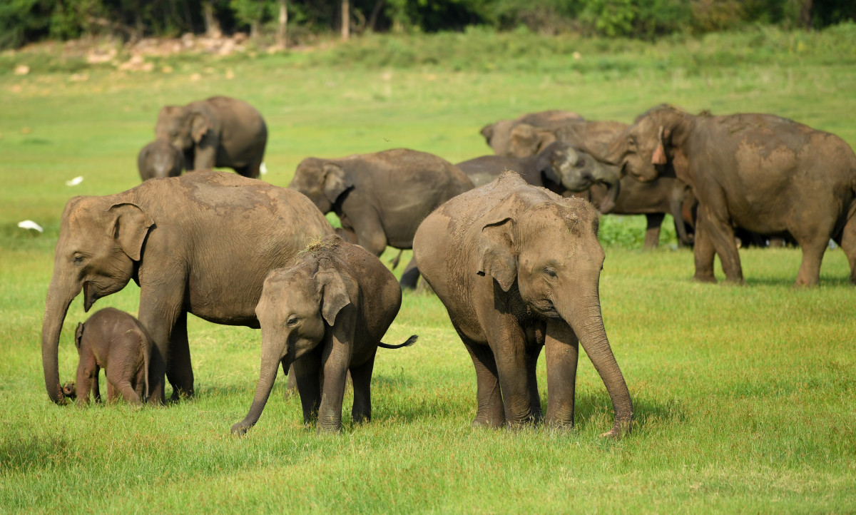 Elephants at Kaudulla National Park.