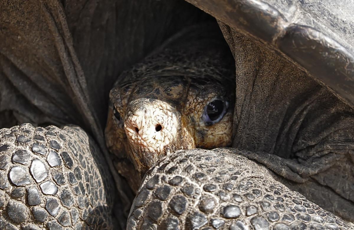 A giant Galapagos tortoise.