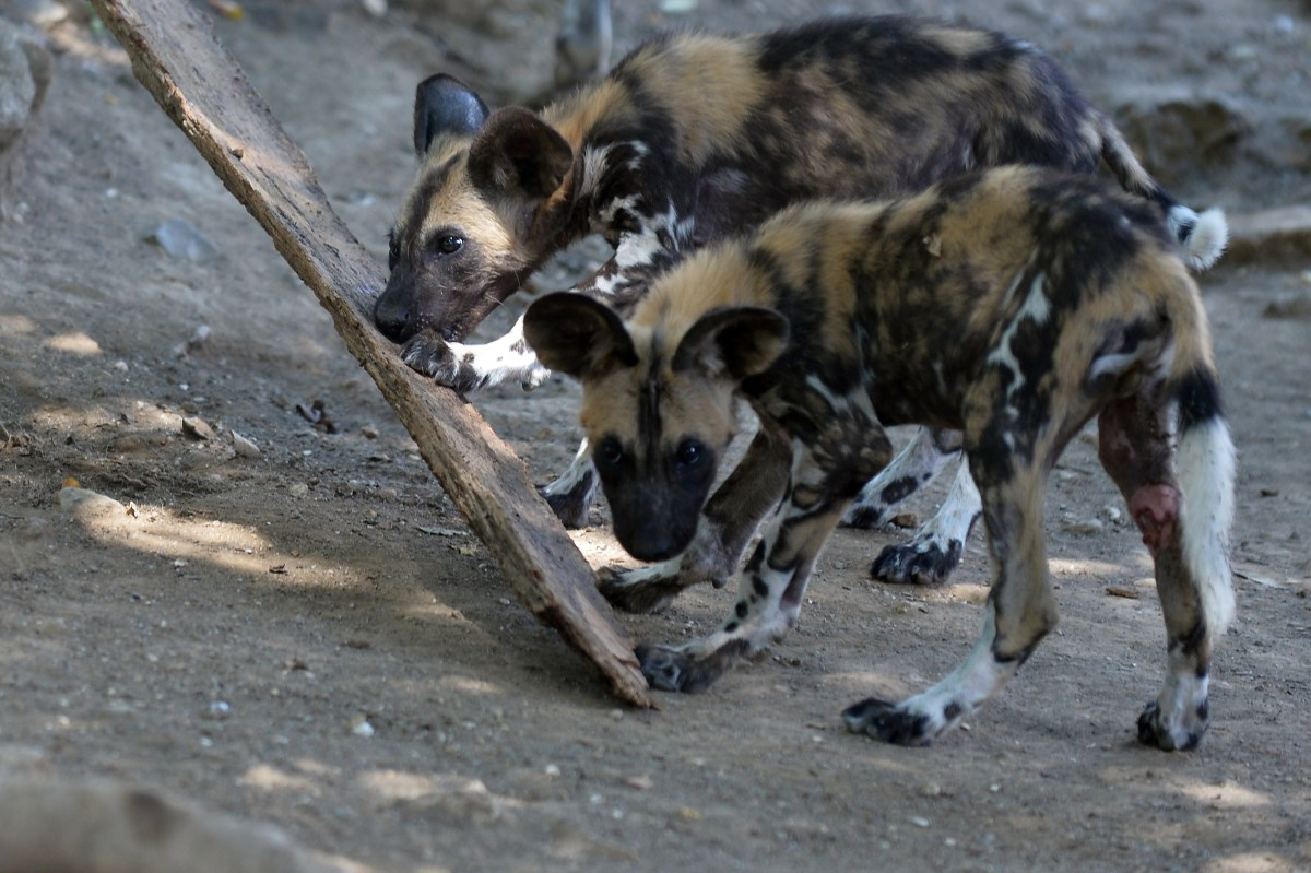 Young African wild dogs also called Lycaon pictus, are pictured on August 25th, 2014, at the Bioparco of Rome.