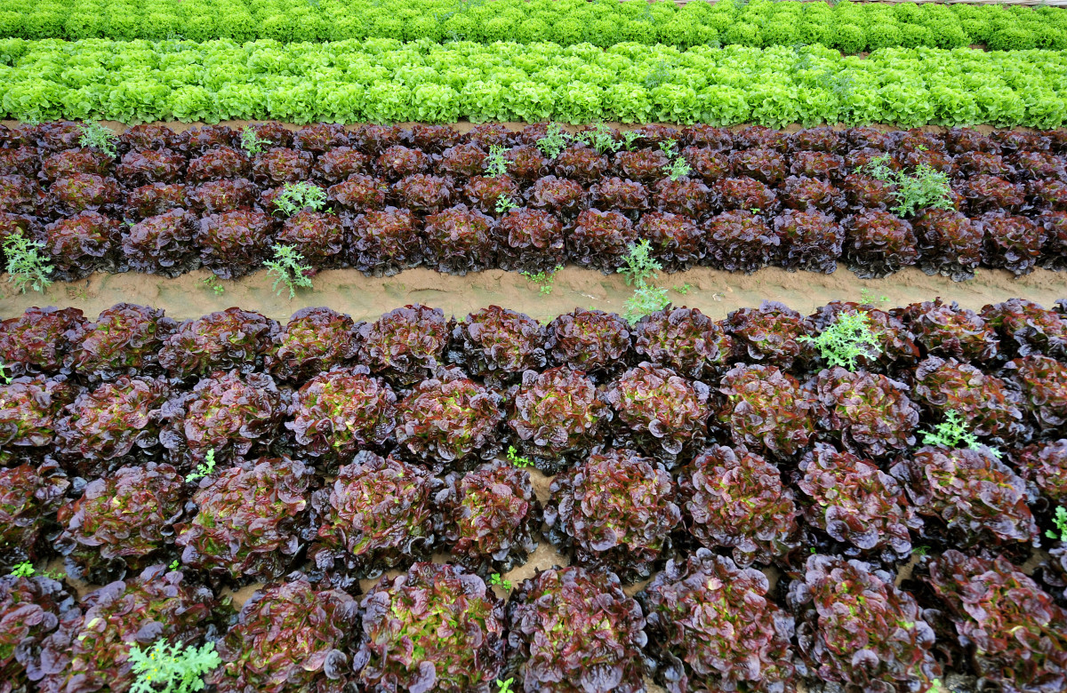 View taken of lettuces on August 5th, 2009, in a field near Douvres-la-Delivrande, outside Caen, northwestern France.