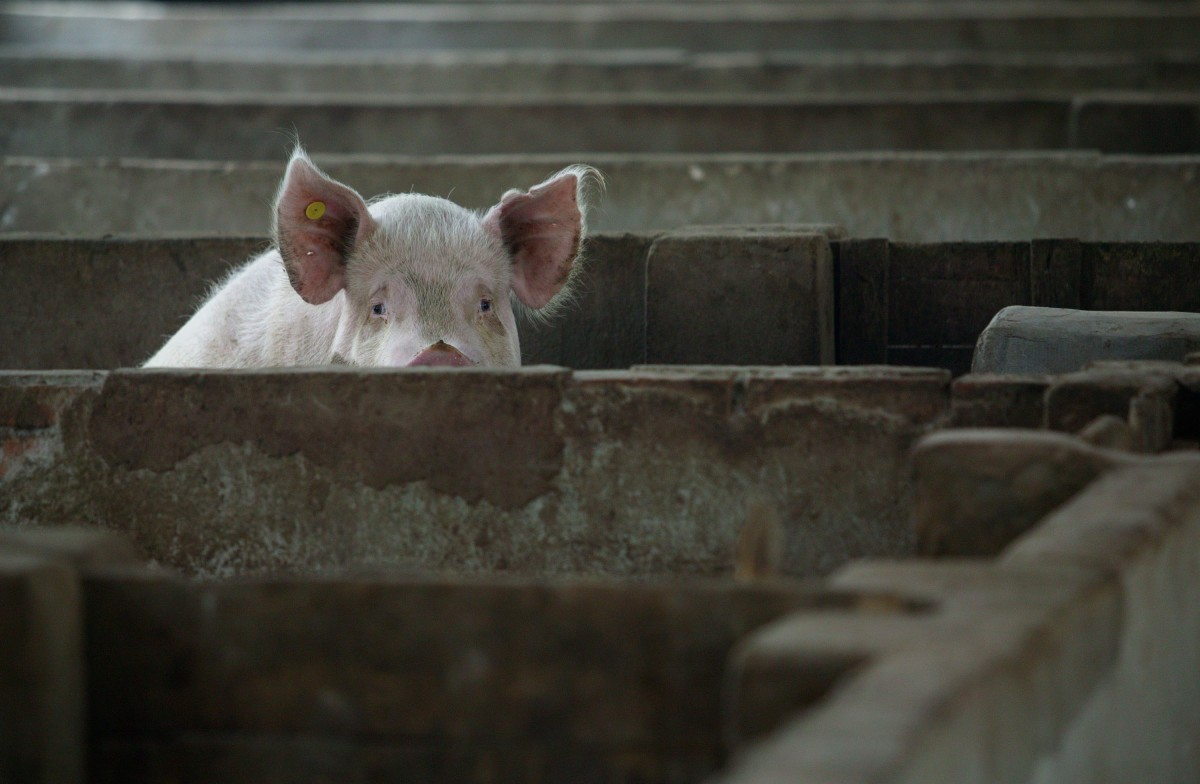 A pig is seen in a pig farm on July 24th, 2007, in Nanjing of Jiangsu Province, China. The highly pathogenic blue-ear disease, also known as Porcine Reproductive and Respiratory Syndrome (PRRS), hit 25 provinces in China during the first five months of that year.