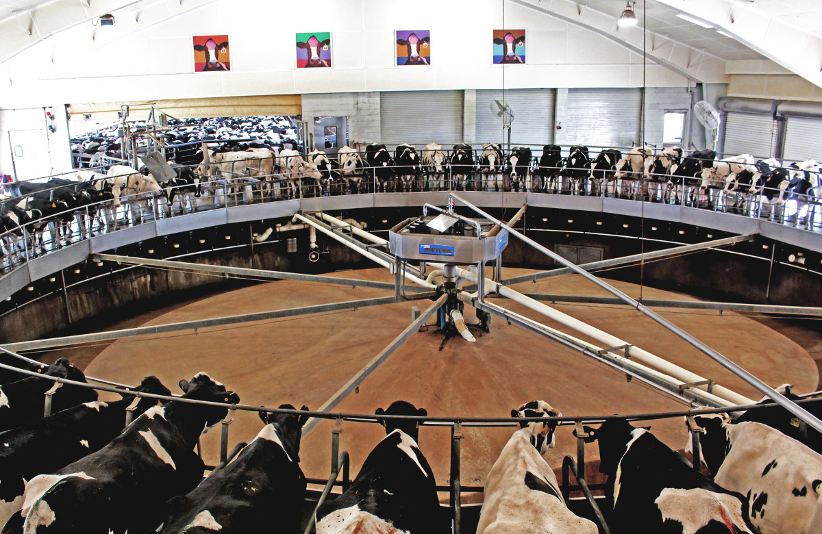 Cows take a spin on the 72-cow rotary inside the milking parlor, where they're milked three times a day.