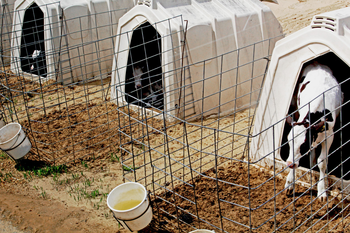 Fair Oaks' calves stay on straw beds inside calf hutches until they're around 12 weeks old.