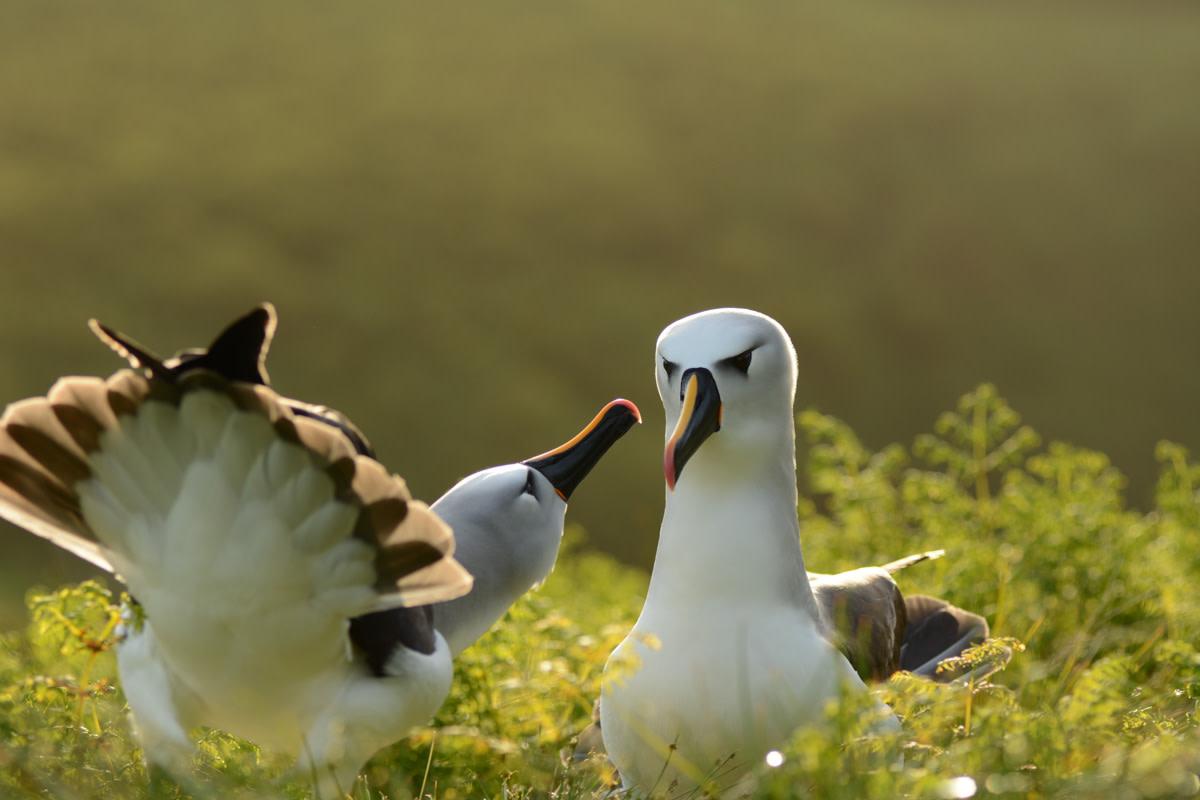 Atlantic yellow-nosed albatross on Gough Island.