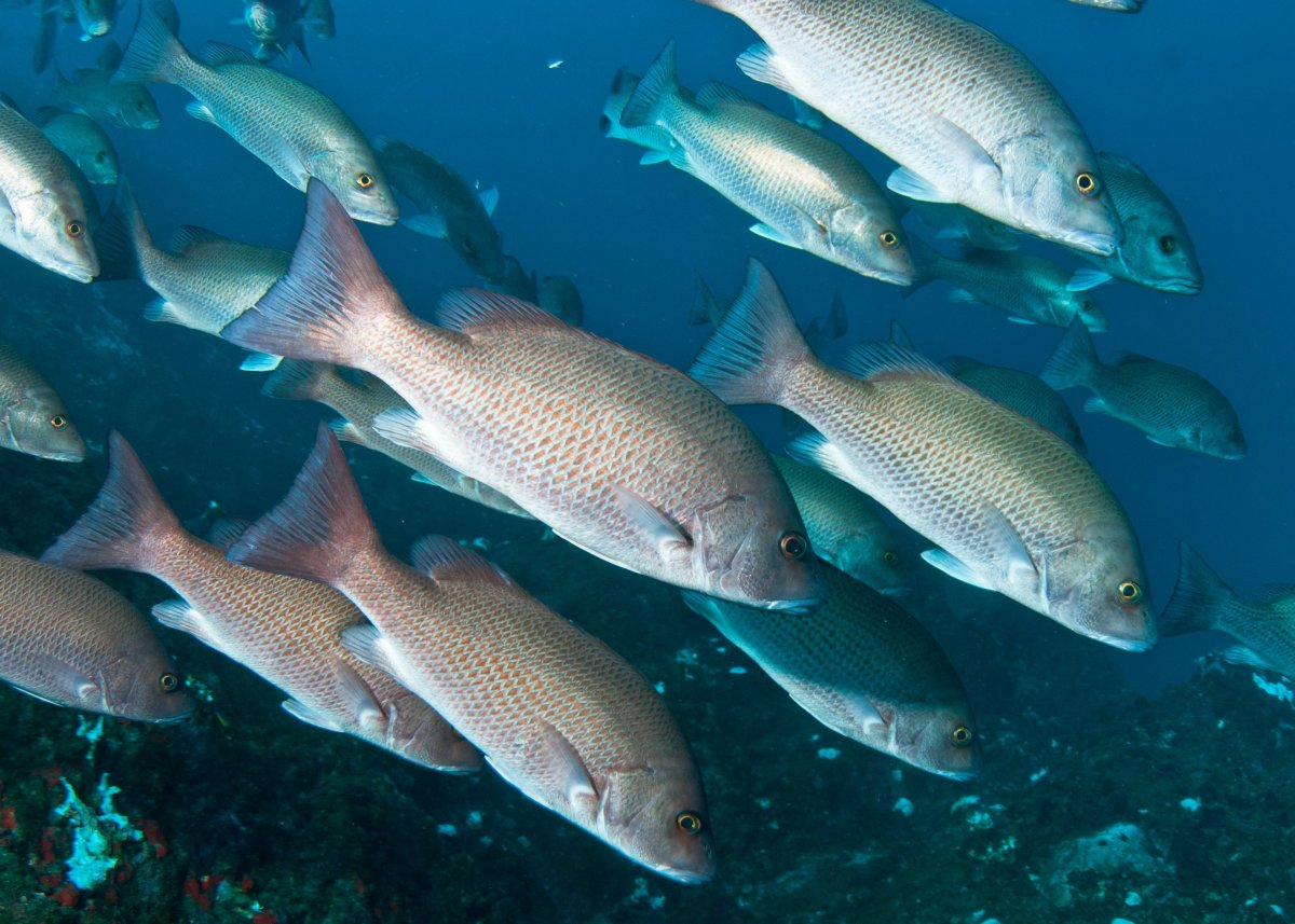 A school of gray snapper, with some in the dark reddish brown phase, during a coral bleaching event, at Flower Garden Banks National Marine Sanctuary in the Gulf of Mexico.