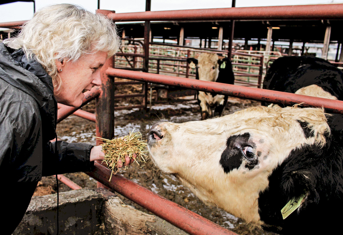 Alison Van Eenennaam feeds the offspring of one of her gene-edited cows in the UC–Davis feedlot. The lab worked with the start-up Recombinetics to introduce a naturally occurring mutation in Angus beef that produces cows with no horns, eliminating the need for the painful process of dehorning dairy cows.