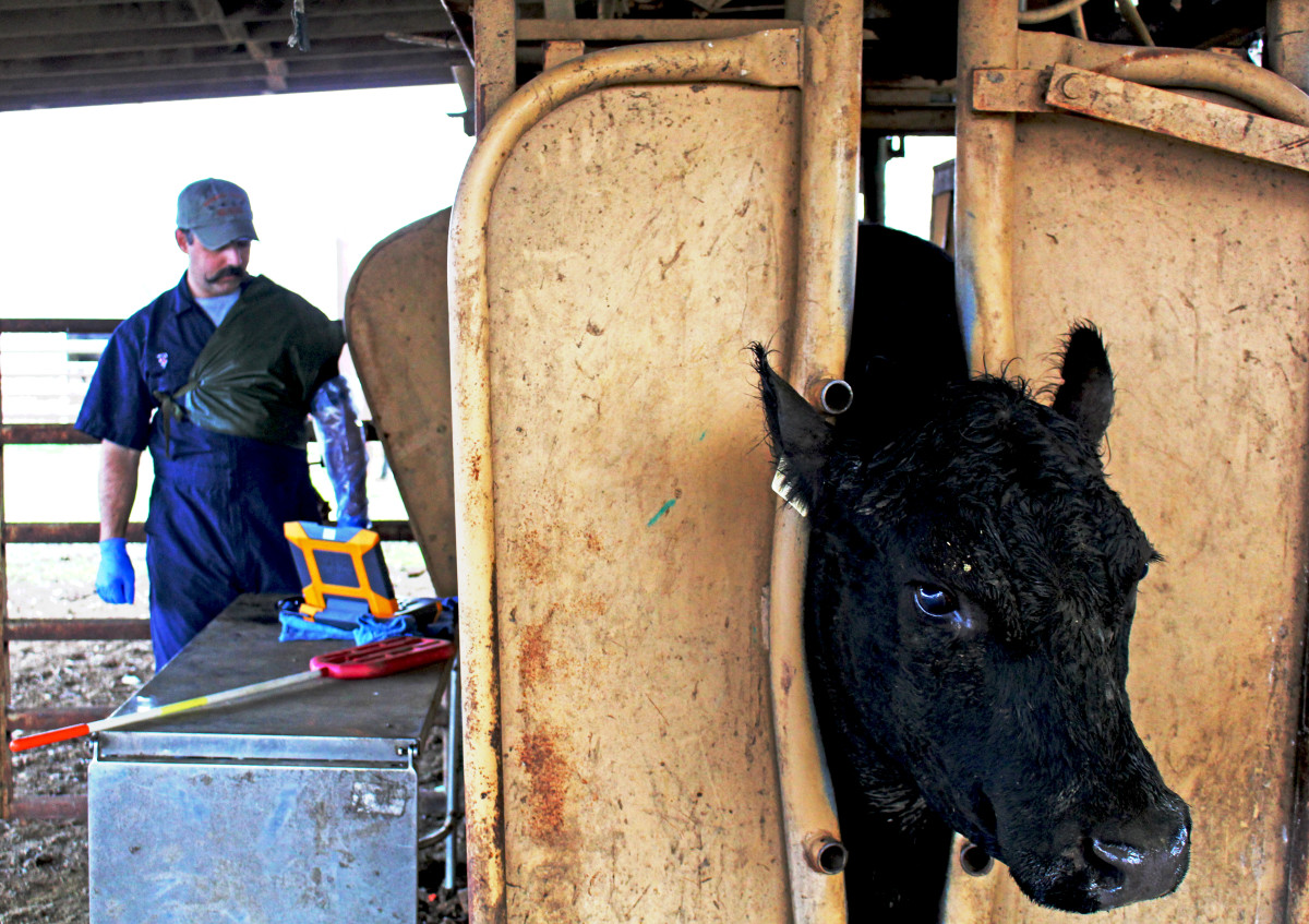 Veterinarian Bret McNabb prepares to pregnancy-check a cow that's (hopefully) carrying an edited embryo. The process involves sticking an ultrasound probe through the rectum to the cervix.