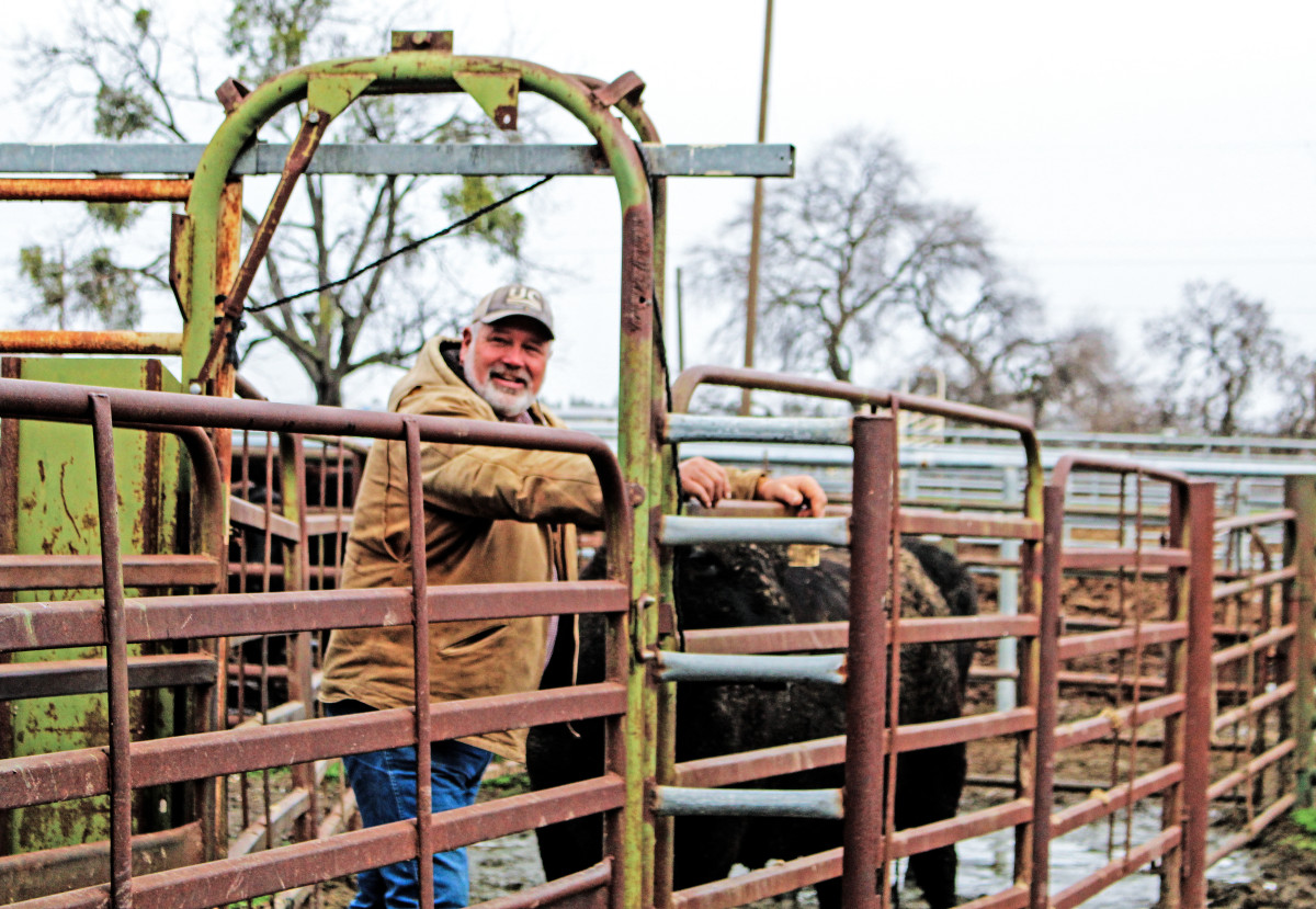 Don Harper, the Beef Barn's natural resource manager, prepares the lab's 18 cows for pregnancy checks.