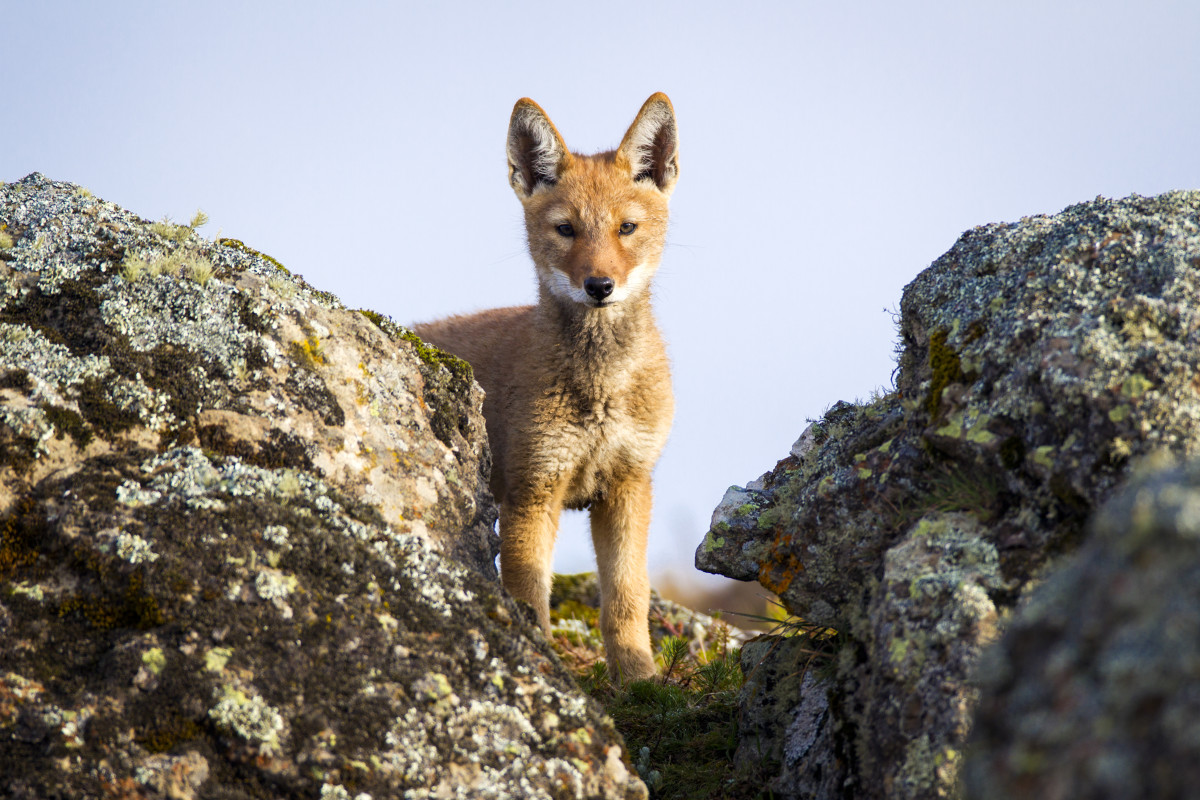 An Ethiopian wolf pup looks out from a high perch in the Bale Mountains.