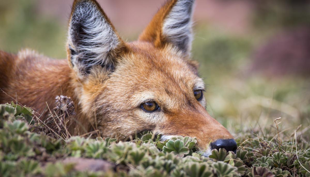 An adult Ethiopian wolf takes a break from stalking prey.