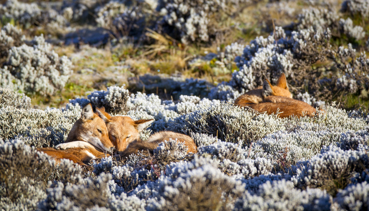 Although they are solitary hunters, Ethiopian wolves have retained many of the social behaviors of their ancestors.