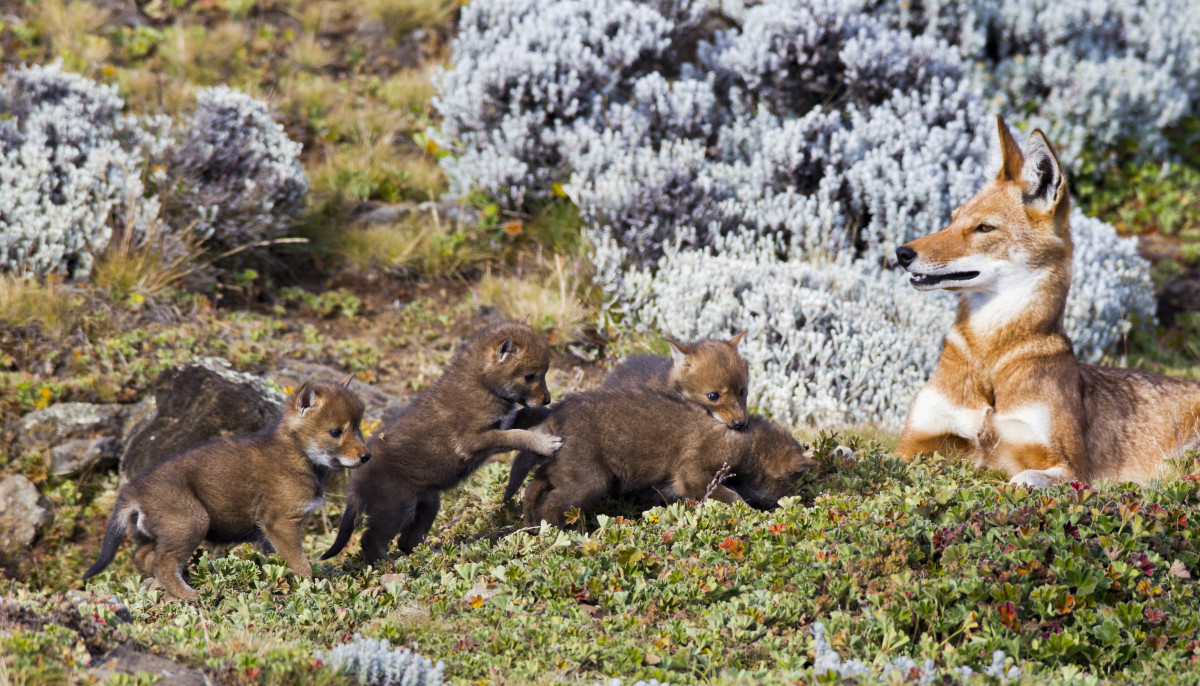 A female Ethiopian wolf keeps watch over her playful litter of pups.