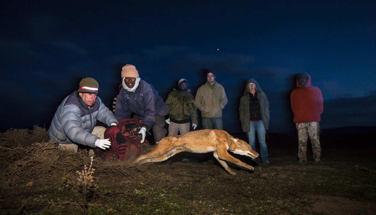 "Ethiopian wolves are like ""greyhounds out of the starting blocks"" as soon as they're released, says photographer Will Burrard Lucas."