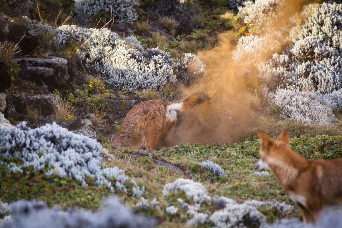 A wolf digs to expand a burrow while another adult looks on.