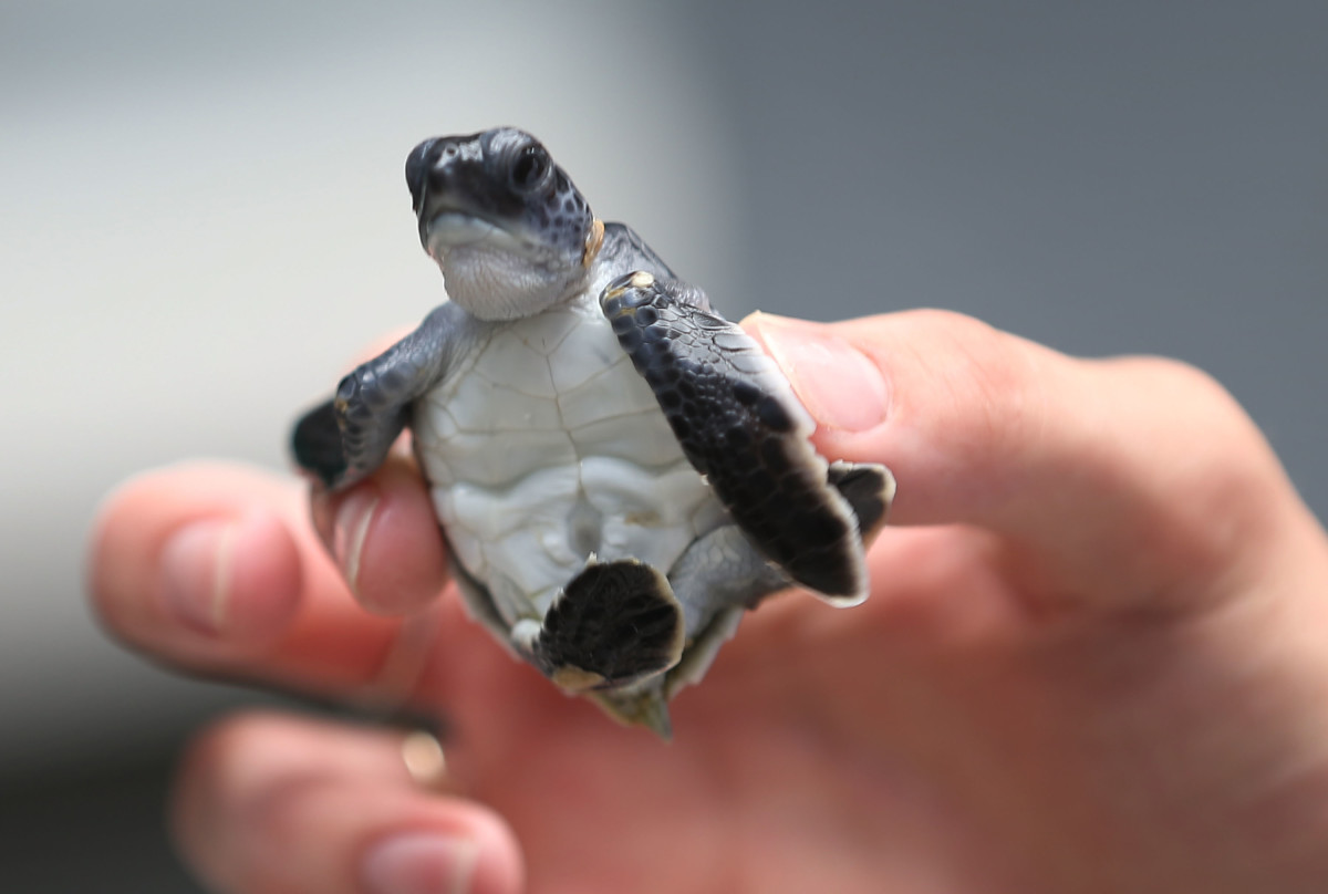 A baby green turtle is held as marine turtle specialists prepare to release the more than 570 baby sea turtles.